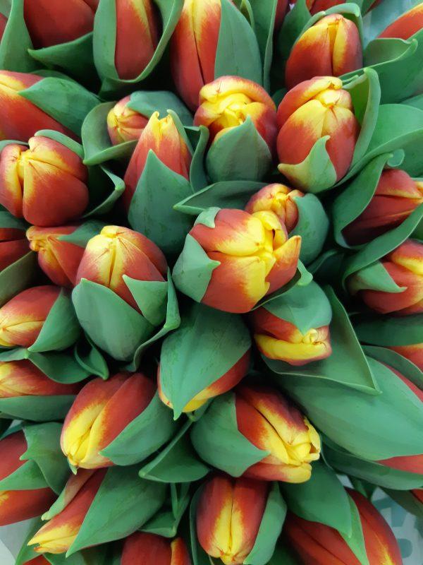 Raudonai geltonos tulpės