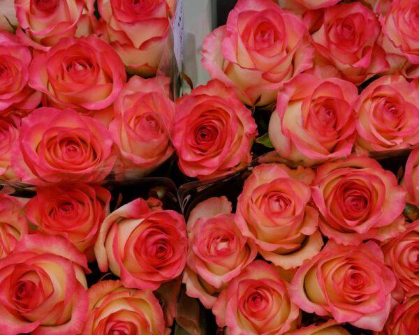 Švelnaus rožinio atspalvio rožės