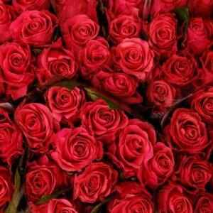 Tamsiai rožinio atspalvio rožės